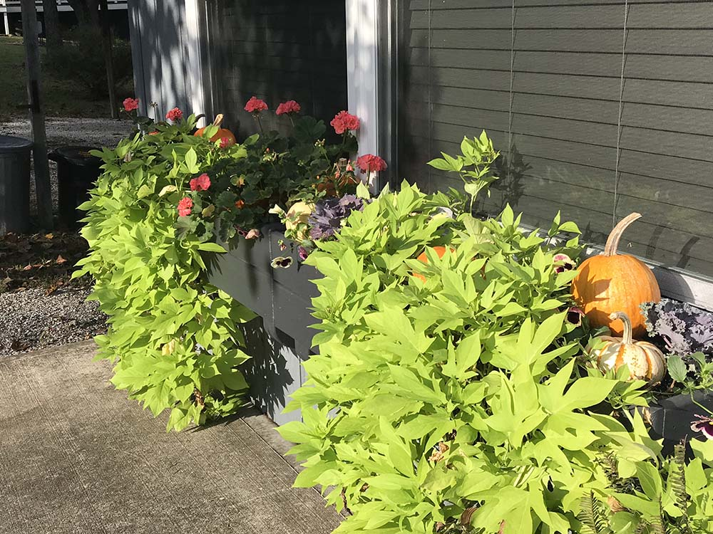 Fall window boxes at the Lil' Woody!