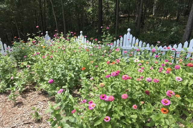 Zinnias at the Cottage